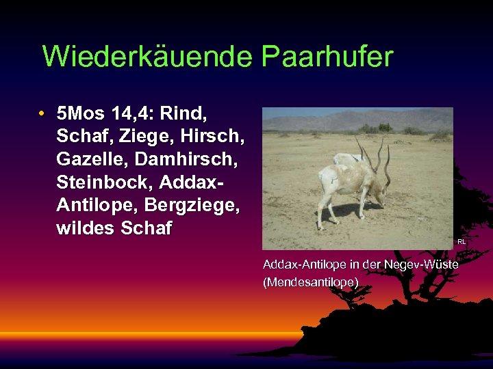 Wiederkäuende Paarhufer • 5 Mos 14, 4: Rind, Schaf, Ziege, Hirsch, Gazelle, Damhirsch, Steinbock,