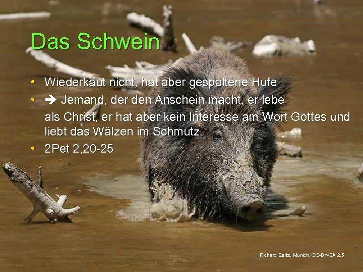 Das Schwein • Wiederkäut nicht, hat aber gespaltene Hufe • Jemand, der den Anschein