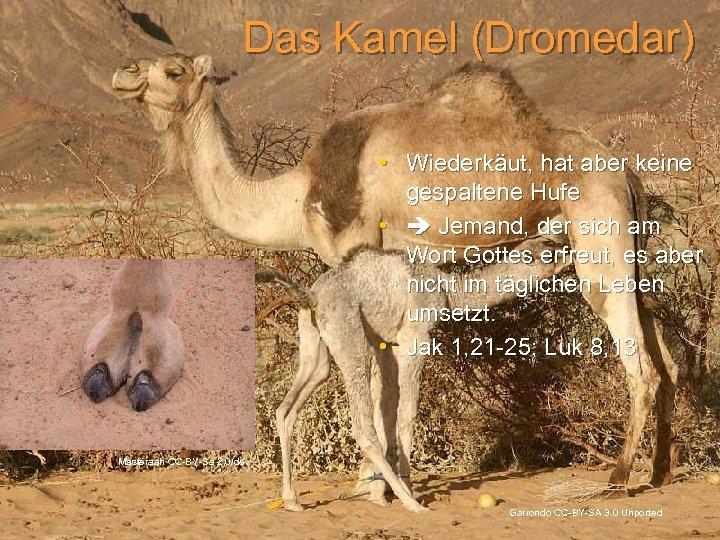 Das Kamel (Dromedar) • Wiederkäut, hat aber keine gespaltene Hufe • Jemand, der sich