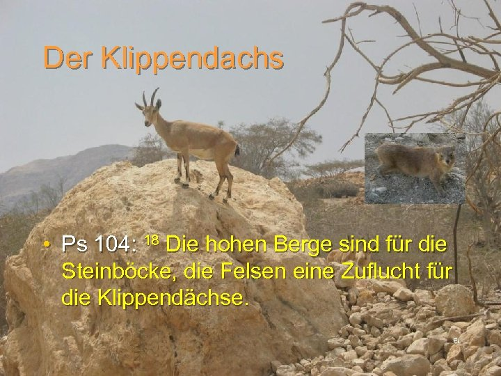 Der Klippendachs • Ps 104: 18 Die hohen Berge sind für die Steinböcke, die