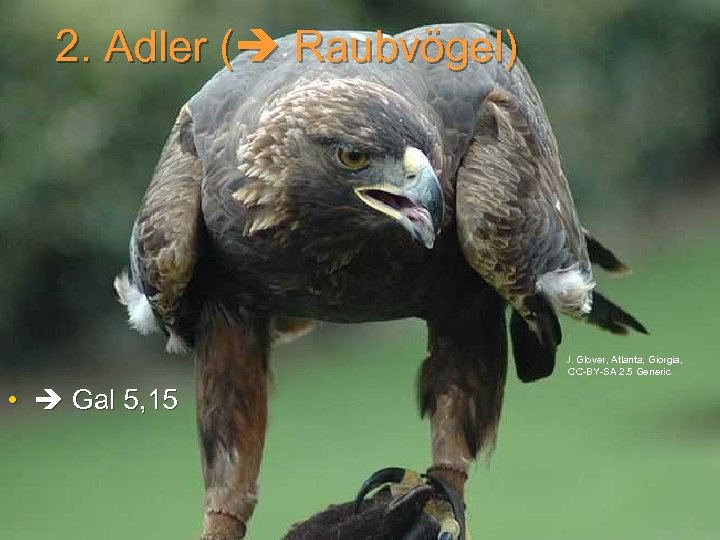 2. Adler ( Raubvögel) J. Glover, Atlanta, Giorgia, CC-BY-SA 2. 5 Generic • Gal