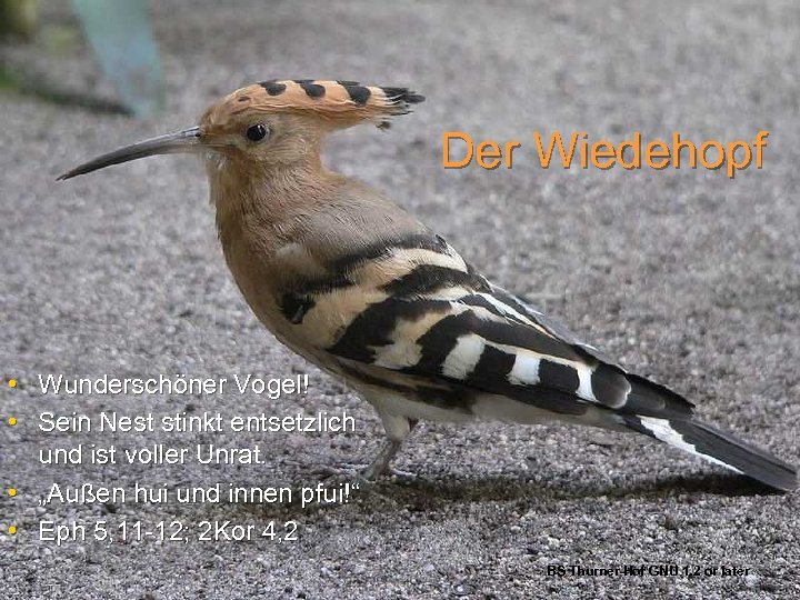 Der Wiedehopf • Wunderschöner Vogel! • Sein Nest stinkt entsetzlich und ist voller Unrat.