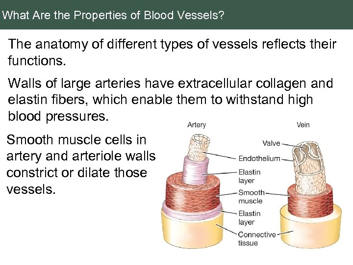 What Are the Properties of Blood Vessels? The anatomy of different types of vessels