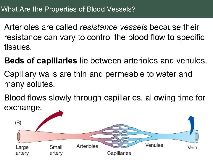 What Are the Properties of Blood Vessels? Arterioles are called resistance vessels because their
