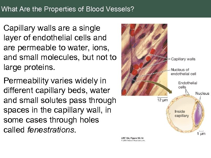 What Are the Properties of Blood Vessels? Capillary walls are a single layer of