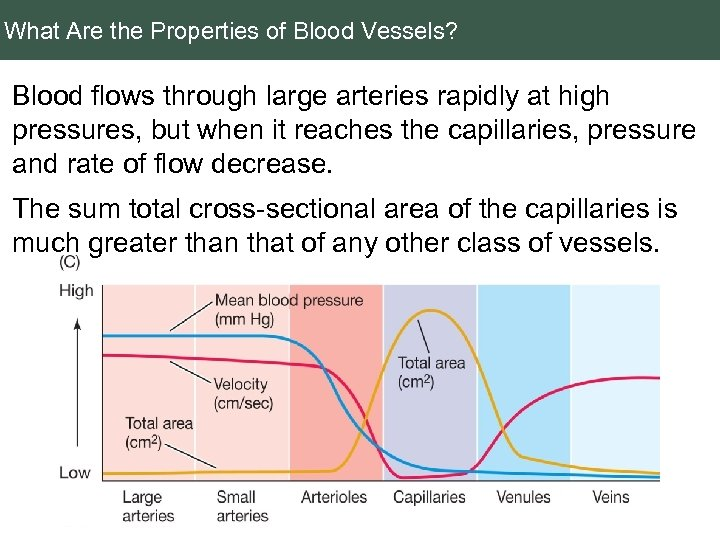 What Are the Properties of Blood Vessels? Blood flows through large arteries rapidly at