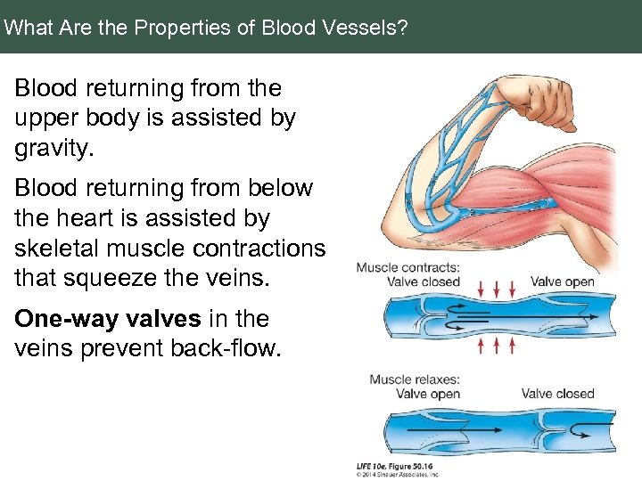 What Are the Properties of Blood Vessels? Blood returning from the upper body is