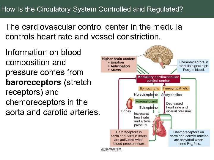 How Is the Circulatory System Controlled and Regulated? The cardiovascular control center in the
