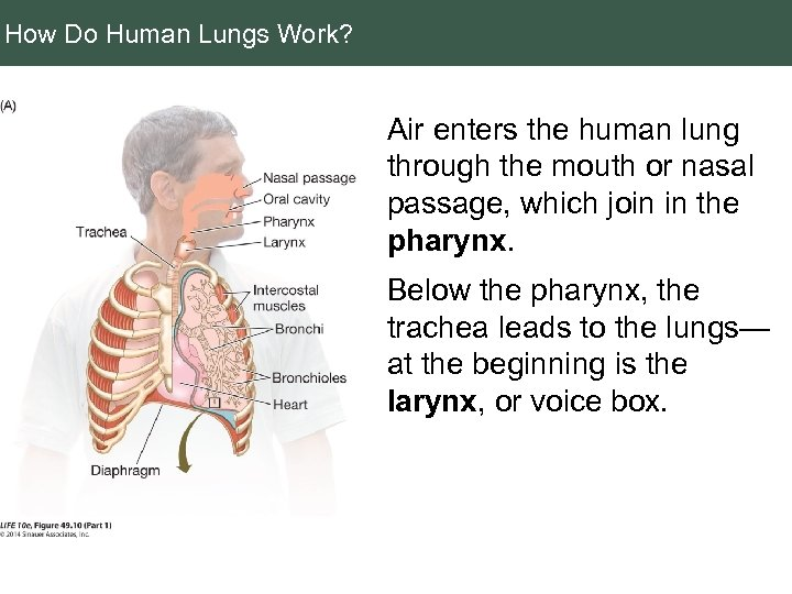 How Do Human Lungs Work? Air enters the human lung through the mouth or