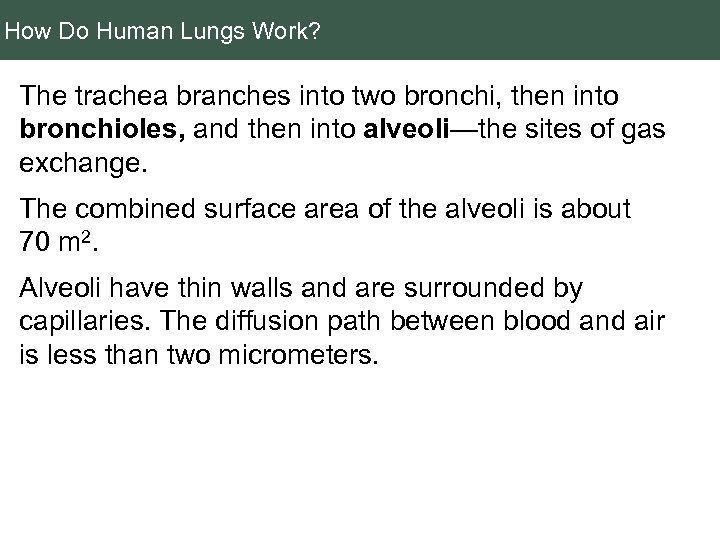How Do Human Lungs Work? The trachea branches into two bronchi, then into bronchioles,