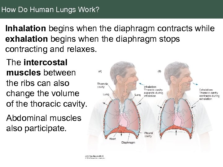 How Do Human Lungs Work? Inhalation begins when the diaphragm contracts while exhalation begins