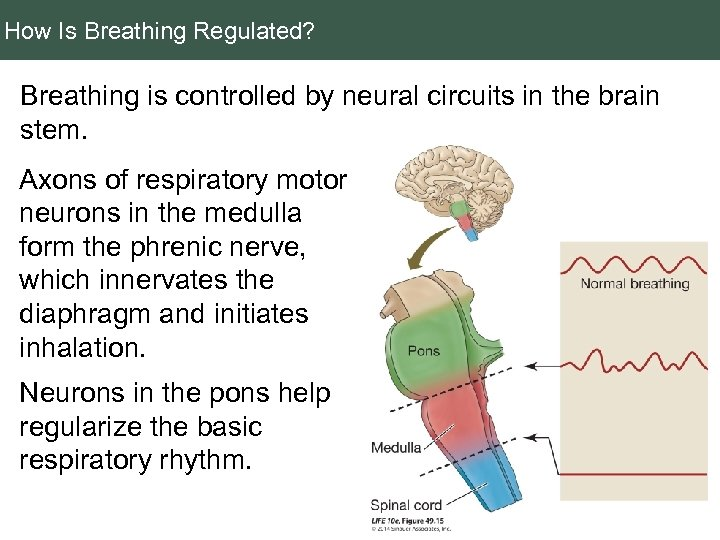 How Is Breathing Regulated? Breathing is controlled by neural circuits in the brain stem.