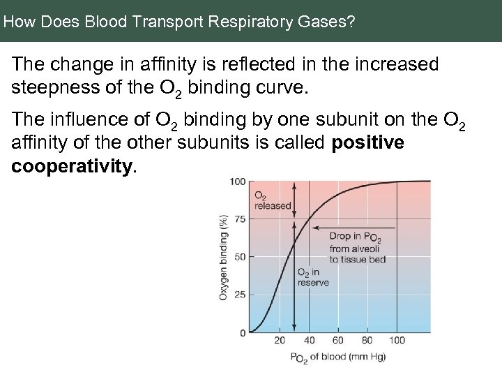 How Does Blood Transport Respiratory Gases? The change in affinity is reflected in the