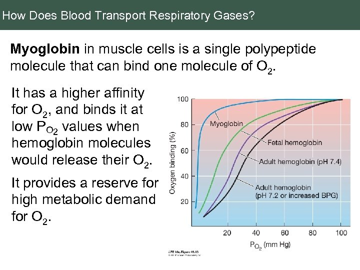How Does Blood Transport Respiratory Gases? Myoglobin in muscle cells is a single polypeptide