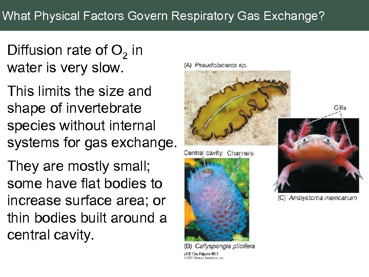 What Physical Factors Govern Respiratory Gas Exchange? Diffusion rate of O 2 in water