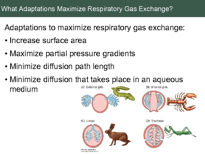 What Adaptations Maximize Respiratory Gas Exchange? Adaptations to maximize respiratory gas exchange: • Increase