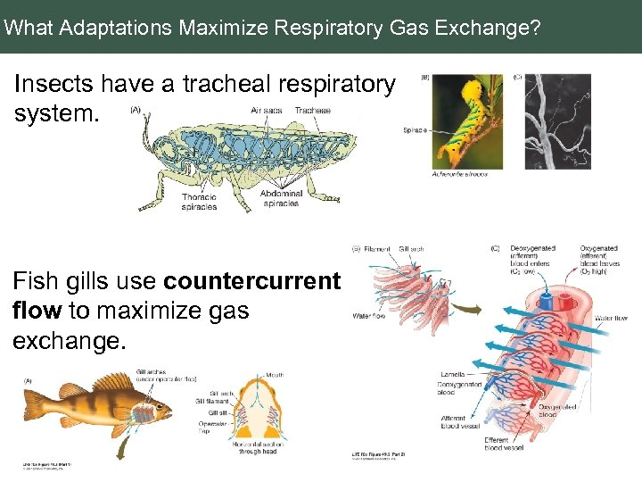 What Adaptations Maximize Respiratory Gas Exchange? Insects have a tracheal respiratory system. Fish gills