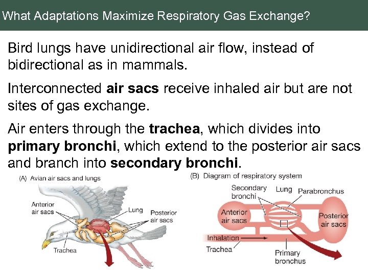What Adaptations Maximize Respiratory Gas Exchange? Bird lungs have unidirectional air flow, instead of