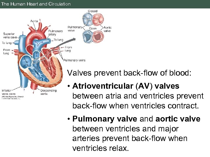 The Human Heart and Circulation Valves prevent back-flow of blood: • Atrioventricular (AV) valves