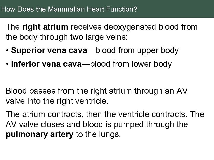 How Does the Mammalian Heart Function? The right atrium receives deoxygenated blood from the