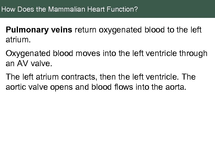 How Does the Mammalian Heart Function? Pulmonary veins return oxygenated blood to the left