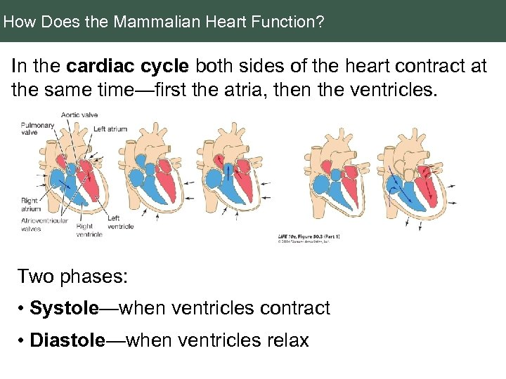 How Does the Mammalian Heart Function? In the cardiac cycle both sides of the