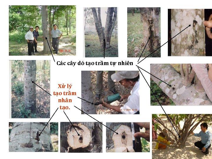 Các cây dó tạo trầm tự nhiên Xử lý tạo trầm nhân tạo.