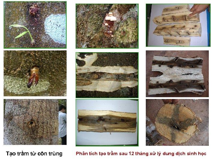 Tạo trầm từ côn trùng Phân tích tạo trầm sau 12 tháng xử lý