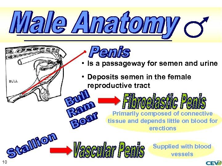 • Is a passageway for semen and urine • Deposits semen in the