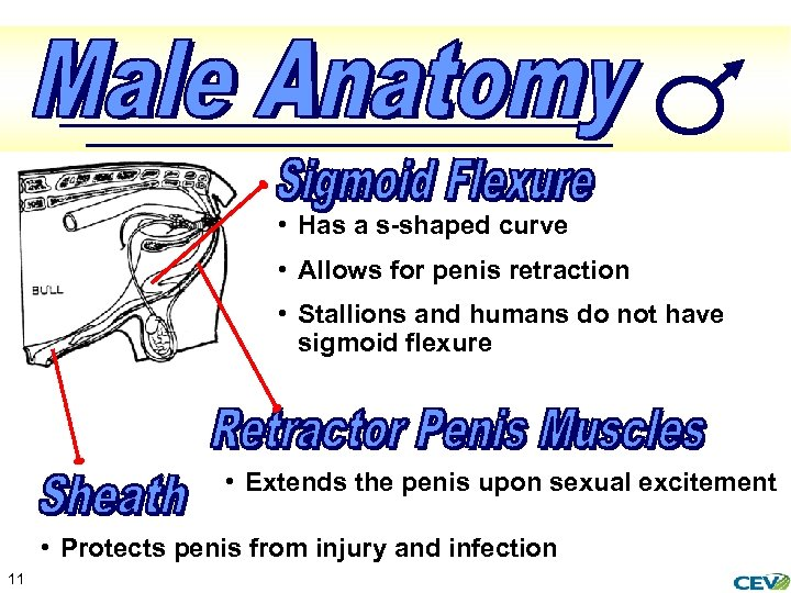 • Has a s-shaped curve • Allows for penis retraction • Stallions and