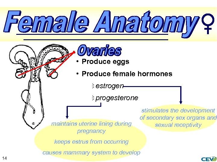 • Produce eggs • Produce female hormones ï estrogen ï progesterone maintains uterine