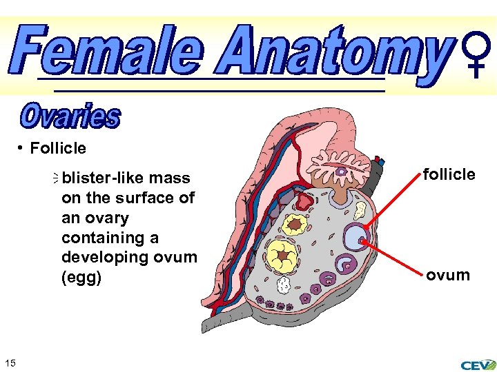 • Follicle ï blister-like mass on the surface of an ovary containing a