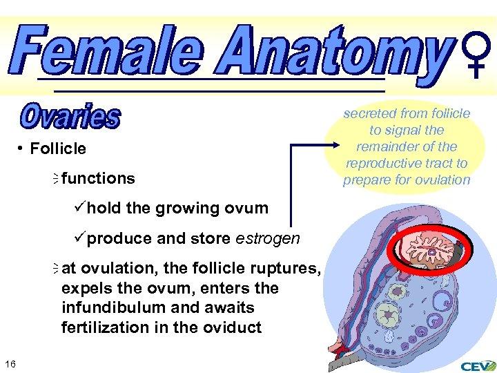 • Follicle ï functions ühold the growing ovum üproduce and store estrogen ï
