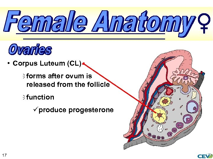 • Corpus Luteum (CL) ï forms after ovum is released from the follicle