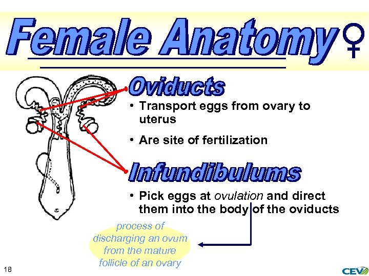 • Transport eggs from ovary to uterus • Are site of fertilization •