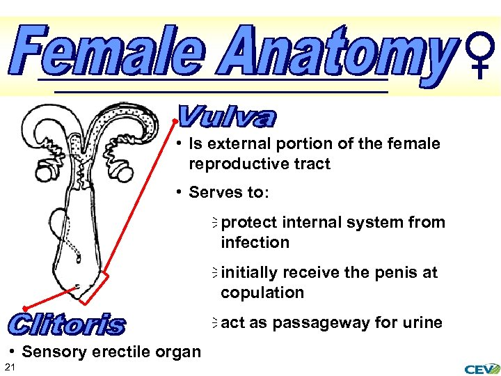 • Is external portion of the female reproductive tract • Serves to: ï