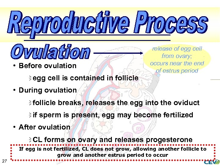 • Before ovulation ï egg cell is contained in follicle release of egg