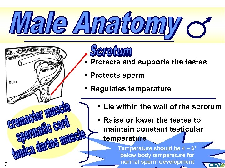 • Protects and supports the testes • Protects sperm • Regulates temperature •