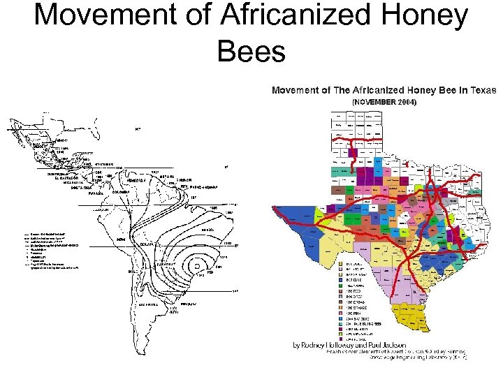 Movement of Africanized Honey Bees