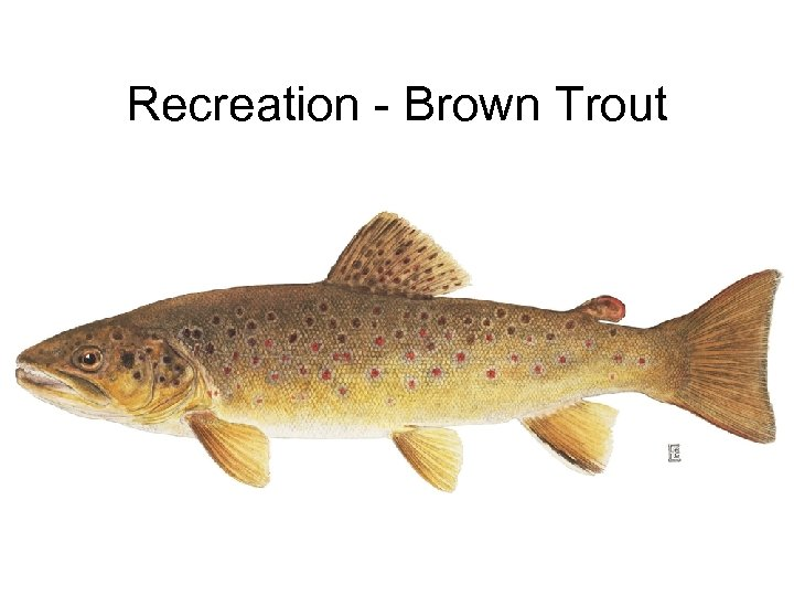Recreation - Brown Trout