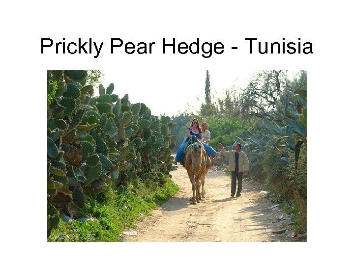 Prickly Pear Hedge - Tunisia
