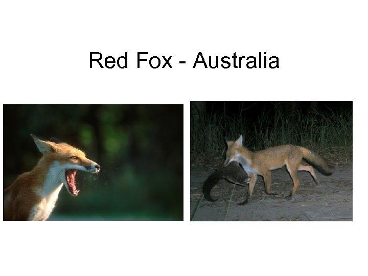 Red Fox - Australia