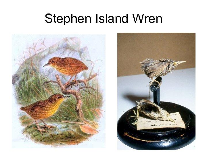 Stephen Island Wren
