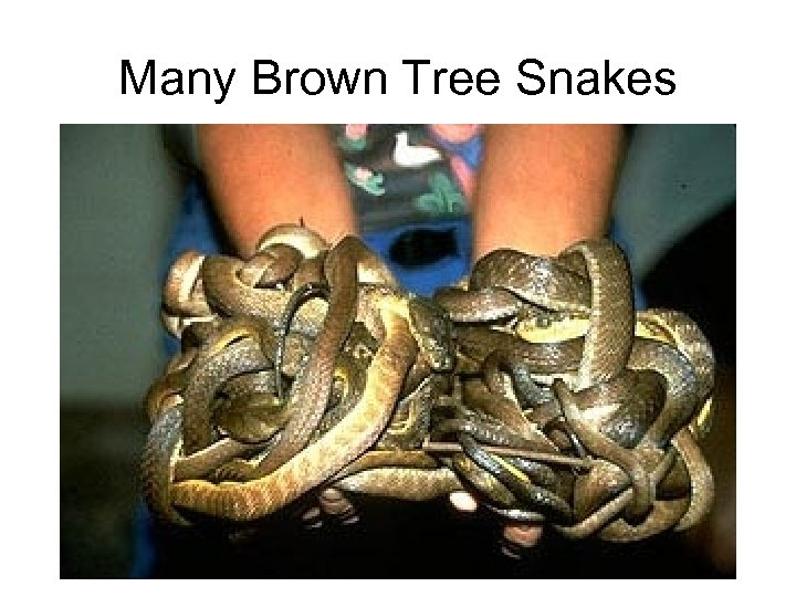 Many Brown Tree Snakes