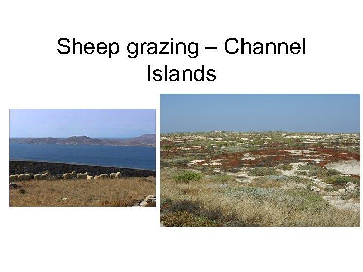 Sheep grazing – Channel Islands