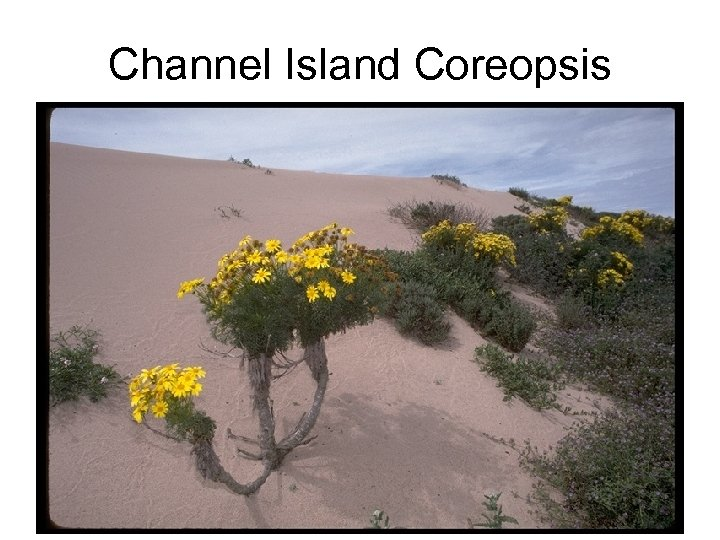 Channel Island Coreopsis