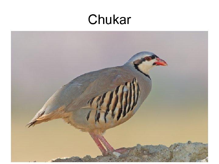 Chukar