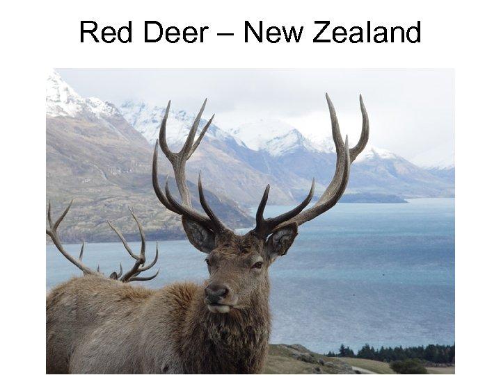 Red Deer – New Zealand