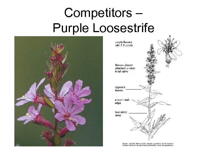 Competitors – Purple Loosestrife
