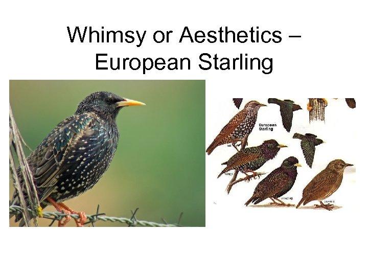 Whimsy or Aesthetics – European Starling